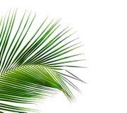 Feuilles d'arbre de noix de coco d'isolement sur le fond blanc Image stock