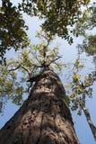 Feuilles d'arbre de ressort Photographie stock libre de droits