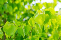 Feuilles d'arbre de tilleul Photographie stock