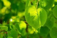 Feuilles d'arbre de tilleul Photo stock