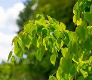 Feuilles d'arbre de tilleul Photographie stock libre de droits