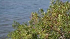Feuilles d'arbre de vert d'acacia ondulant sur le vent banque de vidéos