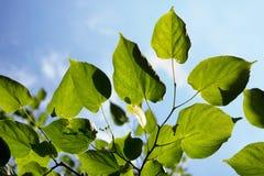 Feuilles d'arbre et ciel bleu Image stock
