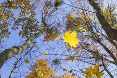 Feuilles d'automne d'érable Photos stock
