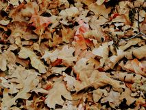 Feuilles d'automne d'Autumn Maple et de chêne étroites dans la forêt sur Rose Canyon Yellow Fork Trail en montagnes d'Oquirrh sur Image libre de droits