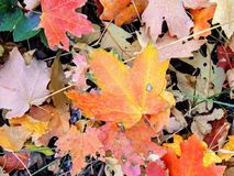 Feuilles d'automne d'Autumn Maple et de chêne étroites sur Forest Floor sur Rose Canyon Yellow Fork et la grande traînée de roche Photographie stock