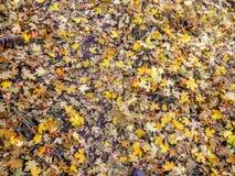Feuilles d'automne d'Autumn Maple et de chêne étroites sur Forest Floor sur Rose Canyon Yellow Fork et la grande traînée de roche Image libre de droits