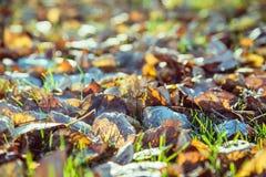Feuilles d'automne avec le matin de hoar en novembre image libre de droits