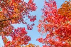Feuilles d'automne colorées contre le ciel bleu Image stock