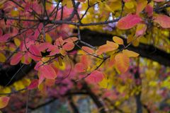 Feuilles d'automne colorées lumineuses sur les branches noires Photos libres de droits