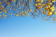 Feuilles d'automne colorées sur des branches d'arbre de tilleul Photographie stock libre de droits