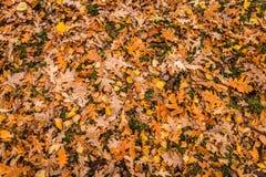 Feuilles d'automne colorées sur l'herbe Image stock
