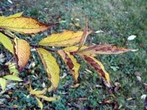 Feuilles d'automne colorées sur la branche, Lithuanie Photographie stock libre de droits