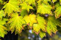 Feuilles d'automne d'érable Photographie stock libre de droits