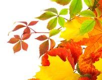 Feuilles d'automne d'isolement sur un fond blanc Images stock