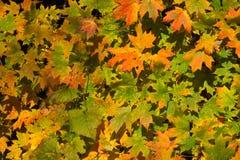 Feuilles d'automne dans la forêt Images stock