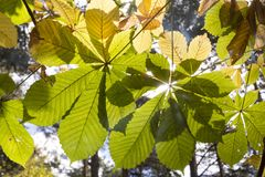 Feuilles d'automne dans le contre-jour dans la forêt Images stock