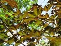 Feuilles d'automne dans les premiers temps de juin Photo stock