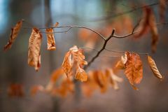 Feuilles d'automne de Brown Photo libre de droits