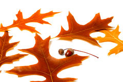 Feuilles d'automne de chêne et de glands Image libre de droits