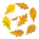 Feuilles d'automne de chêne et glands jaunes Photographie stock libre de droits