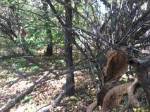 Feuilles d'automne de Forest Dead, arbres et branches nues Image libre de droits