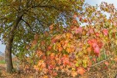 Feuilles d'automne de vignoble Photographie stock libre de droits