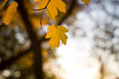 Feuilles d'automne en parc énorme pendant le coucher du soleil, saison d'automne Photographie stock libre de droits