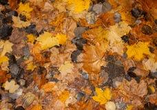 Feuilles d'automne humides après pluie sur la terre Photos stock
