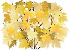 Feuilles d'automne jaunes d'érable d'isolement sur blanc image stock