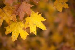 Feuilles d'automne jaunes en parc sur le fond jaune Photographie stock
