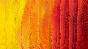 Feuilles d'automne jaunes et rouges de l'arbre Soumi image libre de droits