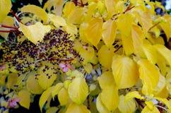 Feuilles d'automne jaunes d'hortensia de s'élever image libre de droits