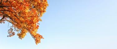 Feuilles d'automne jaunes oranges lumineuses contre le ciel bleu clair Banni?re large avec l'espace pour le texte du c?t? droit image libre de droits