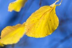 Feuilles d'automne jaunes parfaites Images libres de droits
