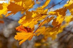 Feuilles d'automne jaunes rougeoyantes sur le fond de ciel bleu images stock