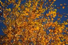 Feuilles d'automne jaunes sur l'arbre photographie stock