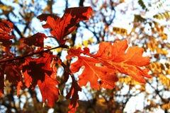 Feuilles d'automne jaunes sur les branches contre le ciel bleu Image stock