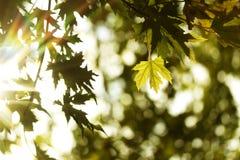 Feuilles d'automne naturel soleil verts et jaunes d'érable et Photo stock