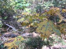 Feuilles d'automne pâles vertes et jaunes Photo stock