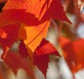 Feuilles d'automne rouges Photo libre de droits