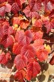 Feuilles d'automne rouges contre un mur de briques rouge Photo stock