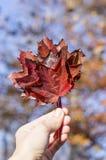 Feuilles d'automne rouges dans la main de fille Image libre de droits