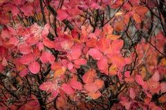 Feuilles d'automne rouges de l'aviron Photo libre de droits