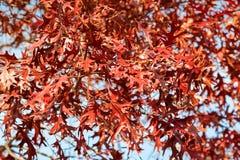 Feuilles d'automne rouges de Pin Oak, connues sous le nom de chêne espagnol de marais, dans Sou Photographie stock libre de droits