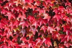 Feuilles d'automne rouges sur la barrière Photo libre de droits