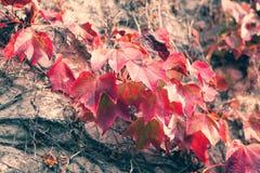 Feuilles d'automne rouges sur la barrière Images libres de droits