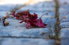 Feuilles d'automne rouges sur les pierres Image stock