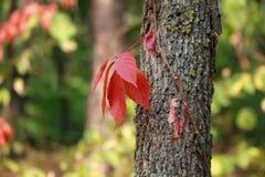 Feuilles d'automne rouges sur un arbre photos stock