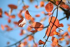 Feuilles d'automne rouges d'un Amelanchier de shadbush contre le s bleu photo stock